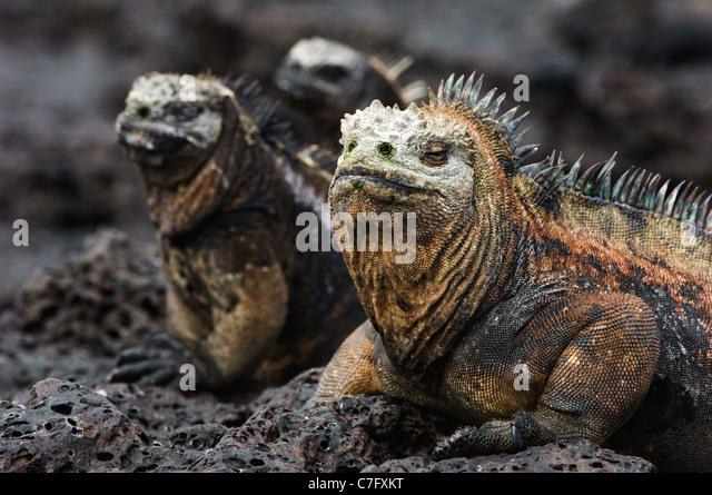 Die marine Iguana posiert auf der schwarzen Lava versteift. Stockbild