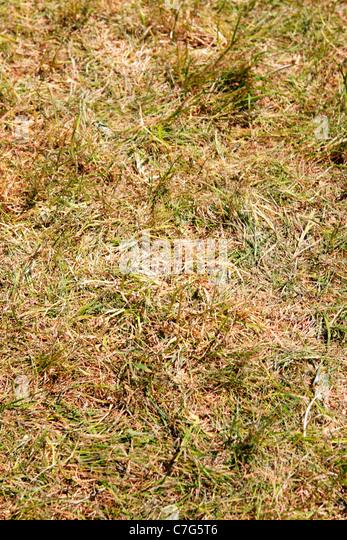 Stroh wie Grass während der Frühjahrstrockenheit in Florida Stockbild