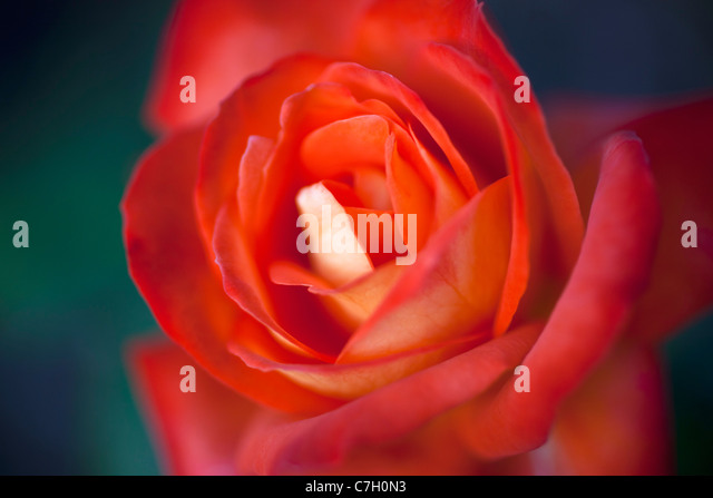 Eine rote rose, extreme Nahaufnahme, selektiven Fokus Stockbild