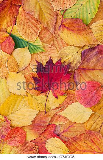 Acer und Herbst Blatt-Muster. Japanischer Ahorn und verschiedene andere Blätter ändern Farben im Herbst. Stockbild