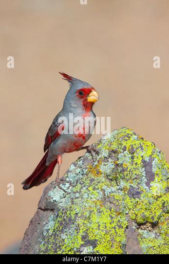 Pyrrhuloxia Cardinalis Sinuatus Tucson, Pima County, Arizona, USA 16 April erwachsenen männlichen Cardinalidae Stockbild