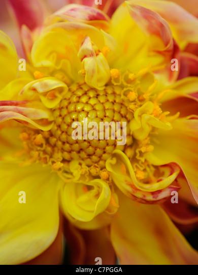 Das Innere von einem frisch geschnittenen Dahlie Flowerhead zeigt th Staubblätter und pollen Stockbild
