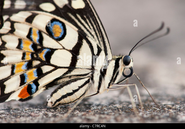 Papilio Demoleus. Kalk-Schmetterling Stockbild