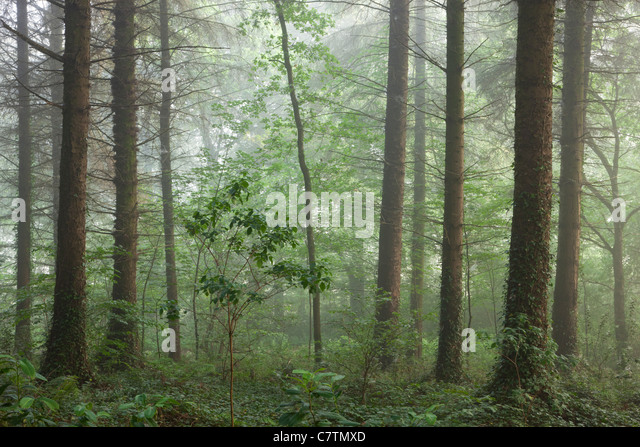 Dunstigen Sommermorgen in einem britischen Woodland, Morchard Wood, Devon, England. Sommer (Juli) 2011. Stockbild