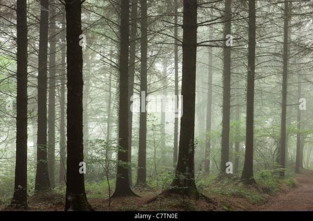 Morgennebel in einem Pinienwald, Morchard Wood, Devon, England. Sommer (Juli) 2011. Stockbild