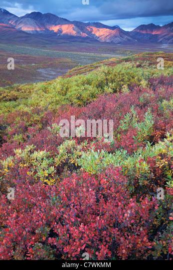 Farben des Herbstes in Polychrome Pass, Denali-Nationalpark, Alaska. Stockbild