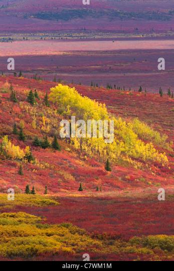 Farben des Herbstes, Denali-Nationalpark, Alaska. Stockbild