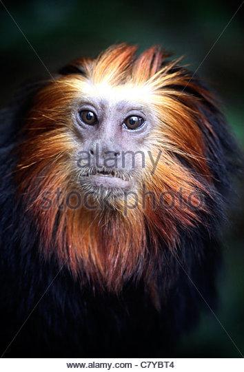 Unter der Leitung von Golden Lion Tamarin Stockbild