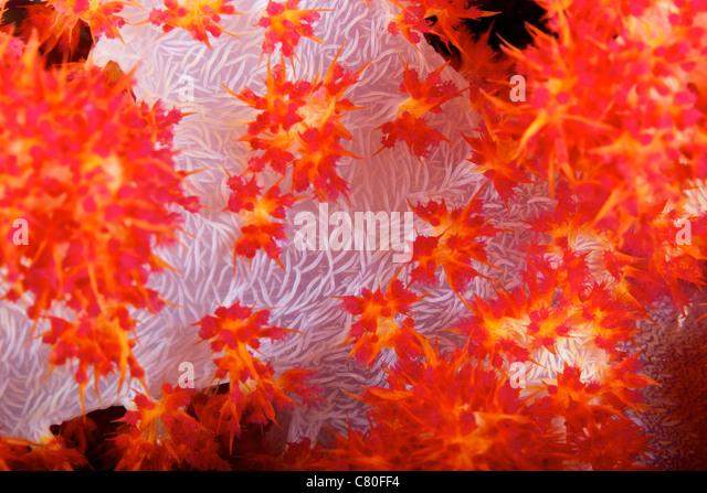 Detailansicht der Weichkorallen enthüllt die Knochensplitter, die seiner Form, Fidschi Stabilität verleihen. Stockbild