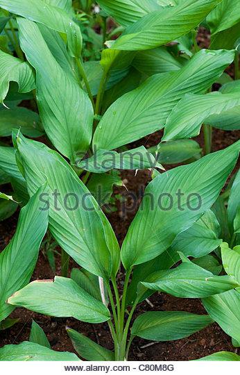 Curcuma Longa. Kurkuma Pflanze Blätter in ein indisches Gemüse Garten Stockbild