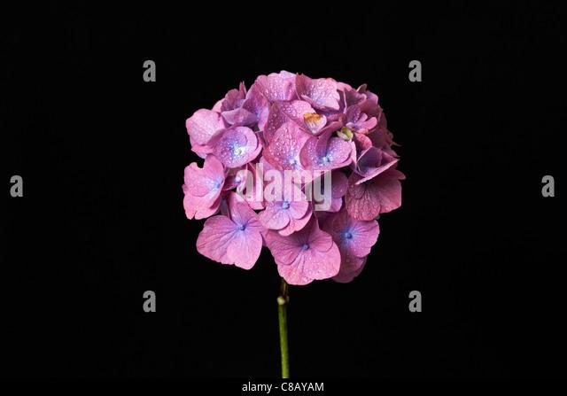 Hortensie Blüte (Hydrangea Macrophylla) mit schwarzem Hintergrund Stockbild