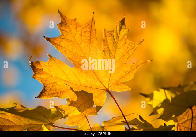 Leuchtend gelbe Ahorn-Blätter im Herbst, Vermont, New England, Vereinigte Staaten von Amerika Stockbild