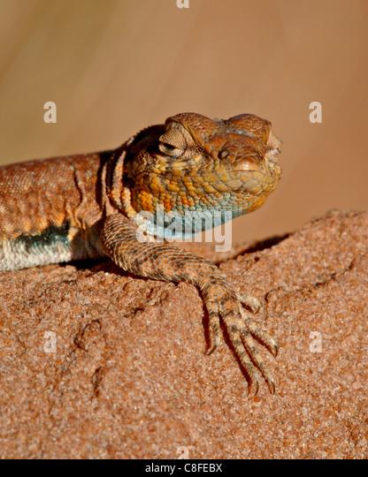 Colorado Seite-blotched Eidechse (Uta Stansburiana Uniformis, Canyon Country, Utah, Vereinigte Staaten von Amerika Stockbild