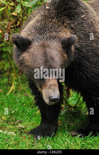 Ein Grizzlybär mit einer aggressiven Haltung Gesichtsausdruck wegsehen. Stockbild