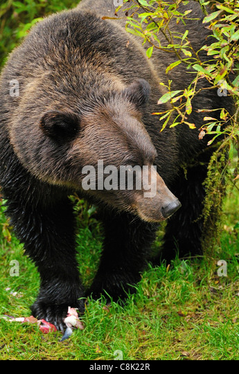 Ein Erwachsener Grizzlybär nachschlagen nach der Fütterung auf einige Lachs. Stockbild