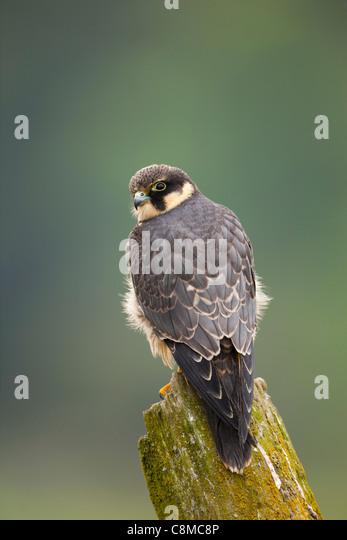 Hobby; Falco Subbuteo; Juvenile; UK Stockbild