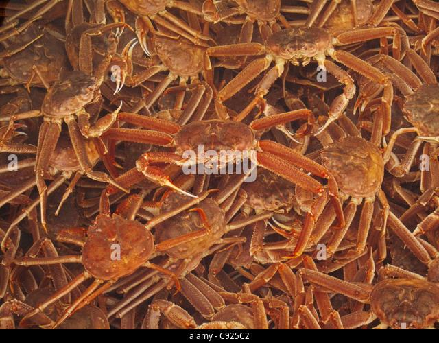 Nahaufnahme der kommerziell gefangen Tanner Krabben vor verarbeitet, frische Meeresfrüchte Alaska, Kodiak, Stockbild