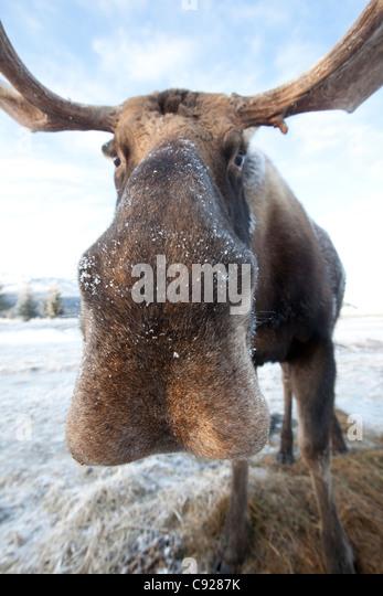 CAPTIVE: Extreme Nahaufnahme von einem Stier Elch im Alaska Wildlife Conservation Center, Yunan Alaska, Winter Stockbild