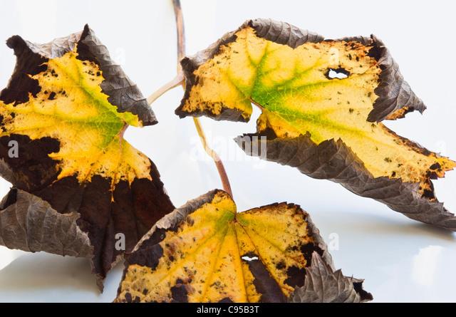 Herbstliche Farben - Blätter des japanischen Anemone. Stockbild