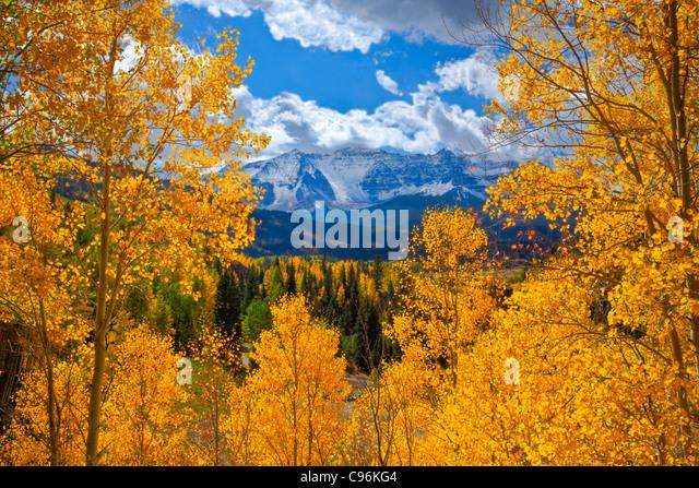 Espen in der Nähe von Trout Lake, Uncomphagre National Forest, Colorado San Juan Mountains Populus tremuloides Stockbild