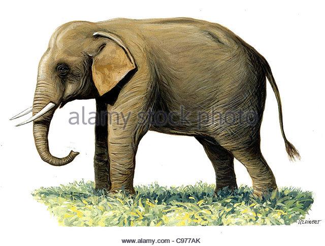 Sumatra-Elefant Elephas Maximus Sumatranus Serie Stockbild