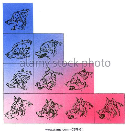 Wolf Aggressive Verhalten schematische Querschnitt Querschnitte Kreuz-Leuchtstoffröhre Stockbild