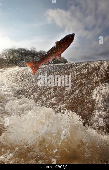 Wilden Atlantischen Lachs, Salmo salar springen stromaufwärts an der Ettrick Wasser Cauld, Philiphaugh, Selkirk, Stockbild