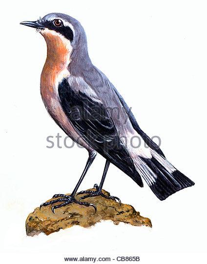 Steinschmtzer Oenanthe Serie Vogel Vogelarten Songbird Stockbild