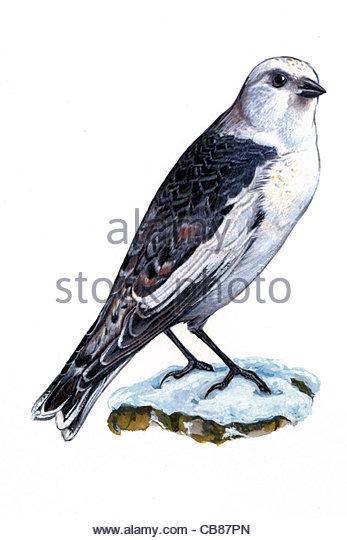 Snow Bunting Vogelarten Serie Songbird Stockbild