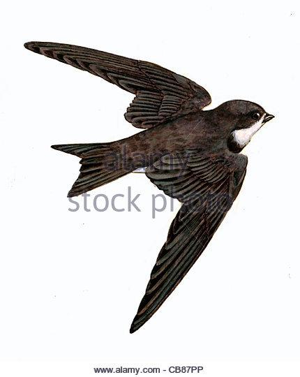 Sand Martin Vogelarten Serie Songbird Stockbild