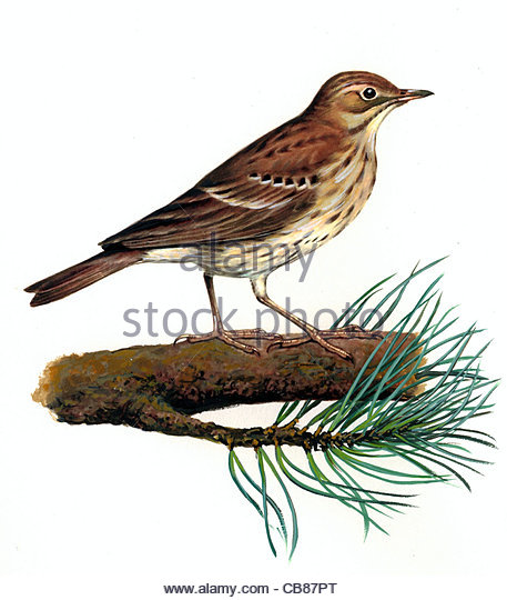 Pieper Vogel Baumarten Serie Songbird Stockbild