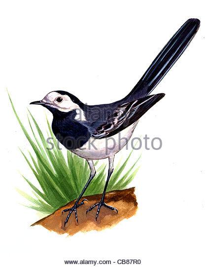 Bachstelze Vogelarten Serie Songbird Stockbild
