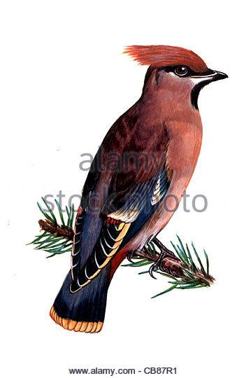 Seidenschwanz Vogelarten Serie Songbird Stockbild