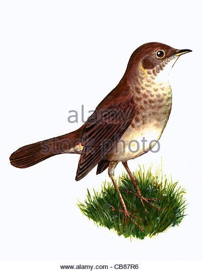 Thrush Nightingale Vogelarten Serie Songbird Stockbild