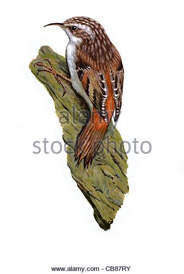 Waldbaumlufer Vogelarten Serie Songbird Stockbild