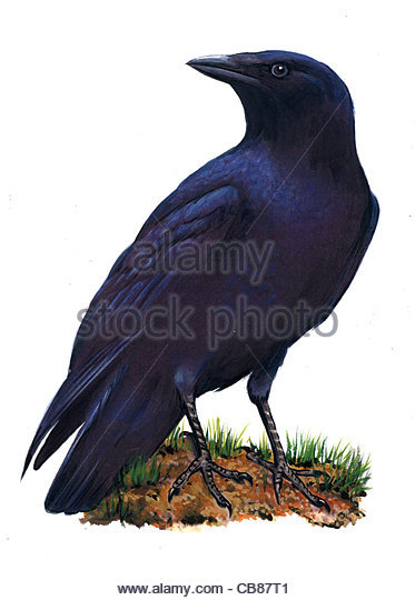 Rabenkrhe Vogelarten Serie Songbird Stockbild