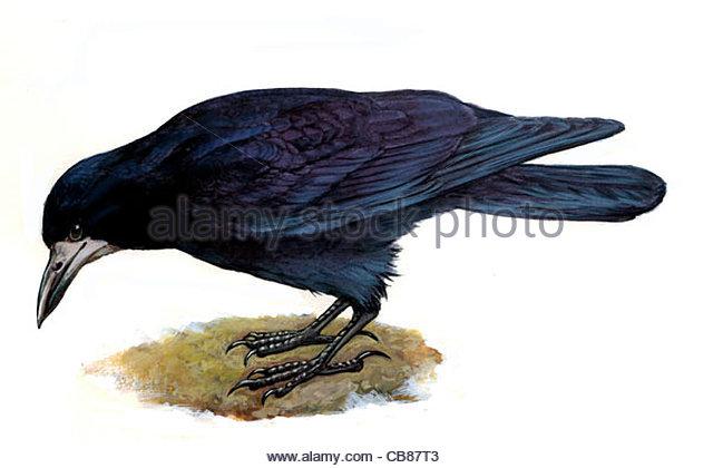 Saatkrhe Vogelarten Serie Songbird Stockbild