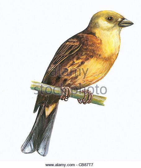 Goldammer Vogelarten Serie Songbird Stockbild