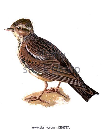 Heidelerche Vogelarten Serie Songbird Stockbild