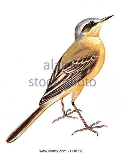 Wiesenschafstelze Vogelarten Serie Songbird Stockbild