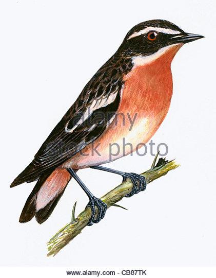 Braunkehlchen Vogelarten Serie Songbird Stockbild