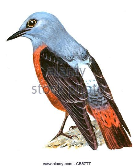 Steinrtel Vogelarten Serie Songbird Stockbild