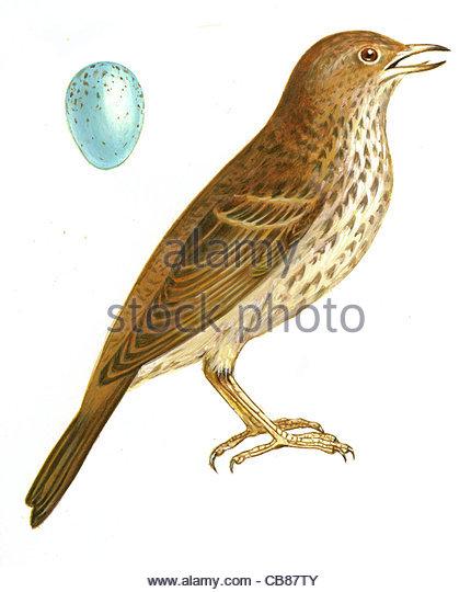 Singdrossel Vogelarten Serie Songbird Stockbild