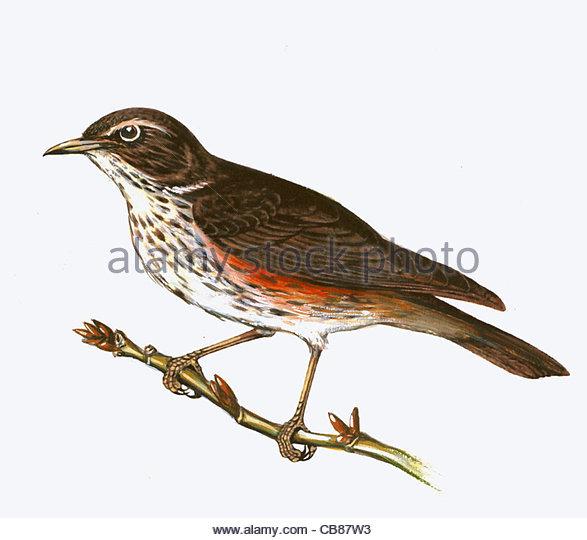 Rotdrossel Vogelarten Serie Songbird Stockbild