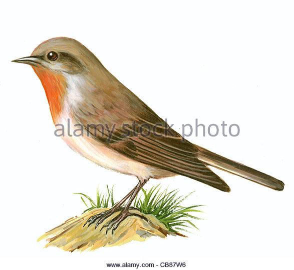 Zwergschnpper Vogelarten Serie Songbird Stockbild