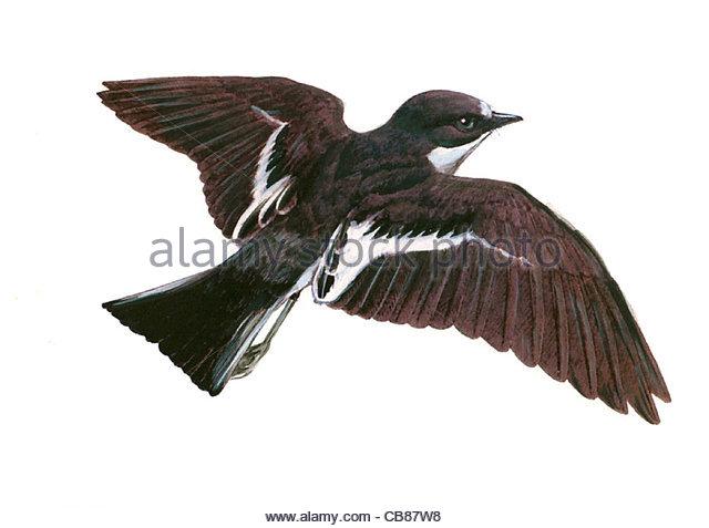 Trauerschnpper Vogelarten Serie Songbird Stockbild