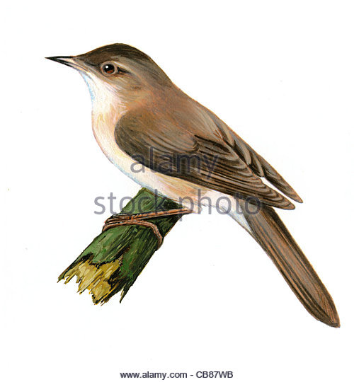 Savi Grasmücke Vogelarten Serie Songbird Stockbild