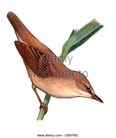 Reed-Transceiver Vogelarten Serie Songbird Stockbild