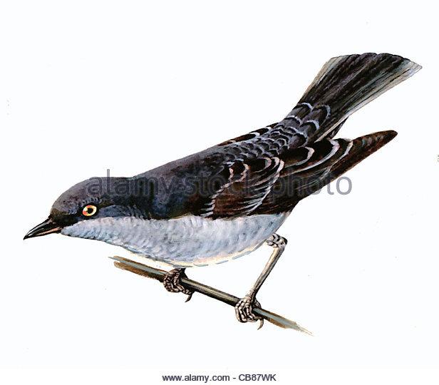 Sperbergrasmcke Vogelarten Serie Songbird Stockbild
