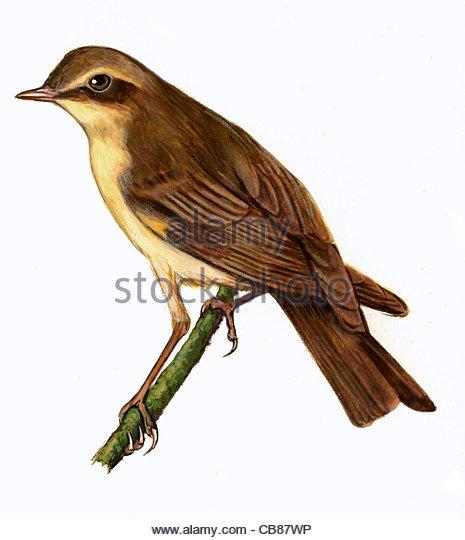 Fitis Vogelarten Serie Songbird Stockbild